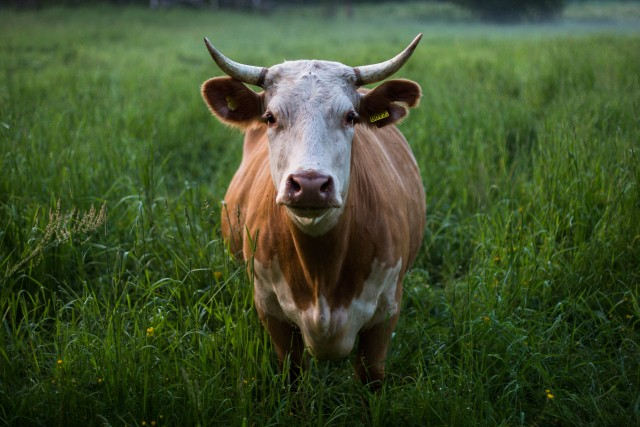 A cow or rather a bull standing on a green meadow.