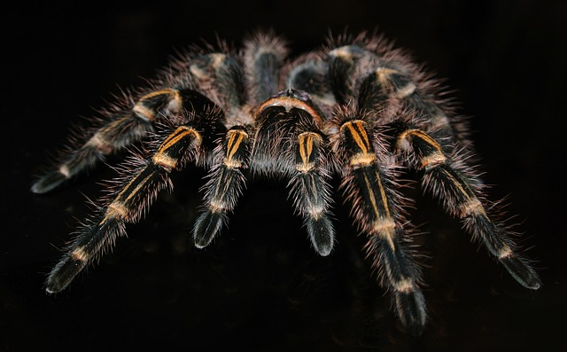 Hairy Tarantula spider on black background. It's scary but beautiful.