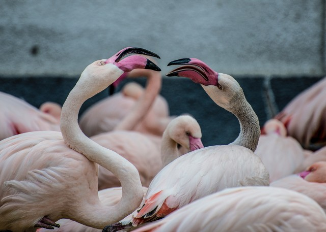 Two flamingos see to be in a heated debate. Yet they look very impressive nonetheless.