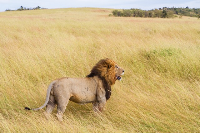 A lion standing in the middle of the prairie. He looks proud - that his natural appearance.