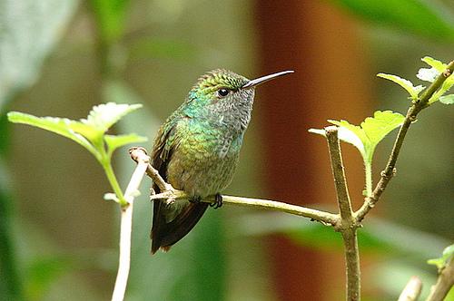 bejia-flor-humming-bird-marcio-cabral-de-moura.jpg