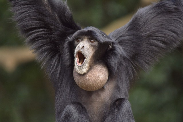 Ape shouting. Looks intimidating but also ridiculous.