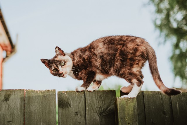 A cat climbing over a wooden fence looks back at the person who caught it in the act. The look speaks volumes.