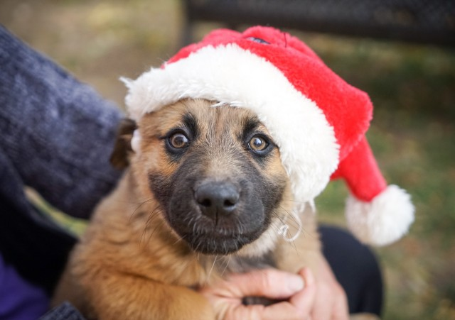 A dog forced to wear a Santa hat looking quite disturbed.