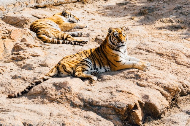 Two tigers resting. One sleeping, one looking. Both look very apathetic.