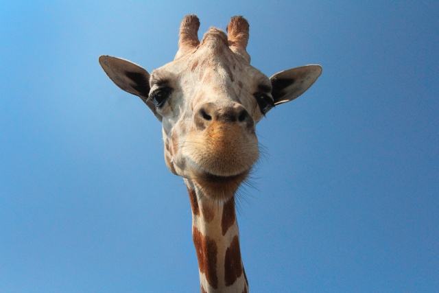 Close up on a giraffe with a funny looking face. There is a prefect blue sky in the back.