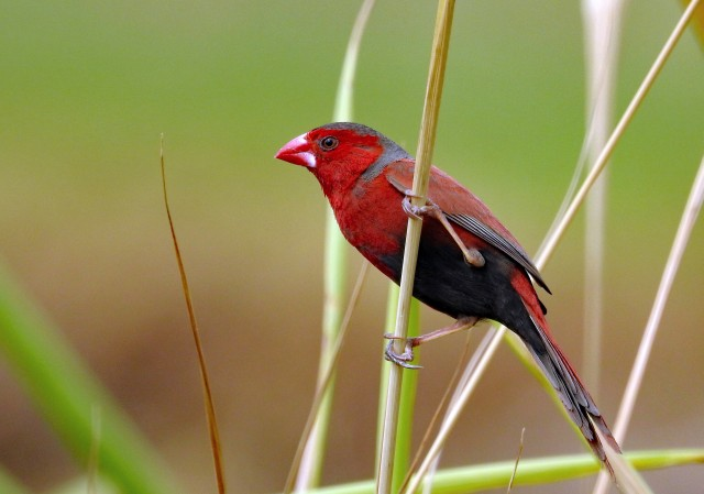 A bright red Crmson Finch on green background. Beautiful!
