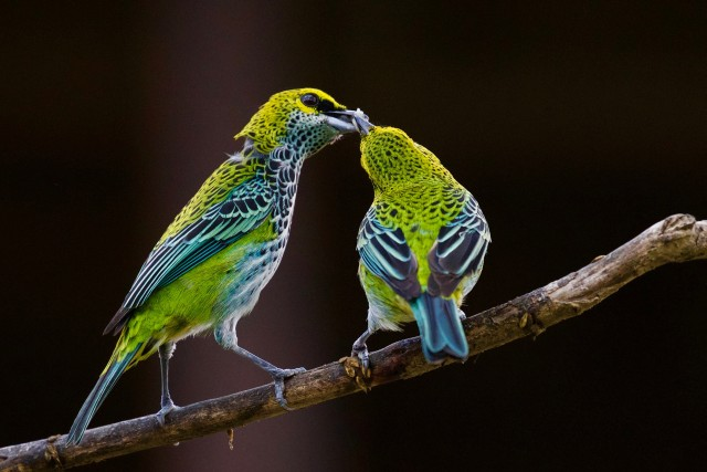Two very colorful green and blue birds (tanagers) share food. Most probably one is feeding the other.