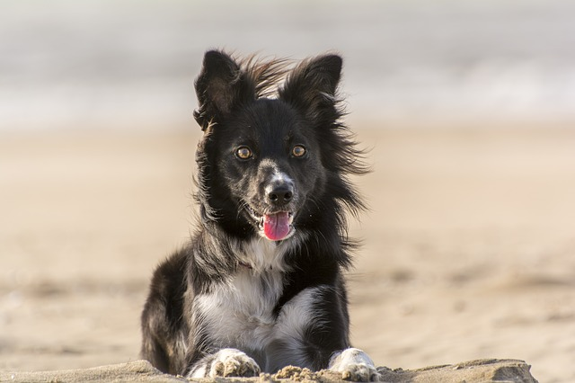 A black and white Border Collie dog on the beach on a windy day.