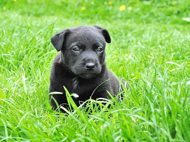 Cute little black puppy on green grass or lawn