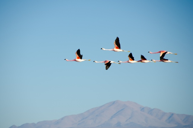 Bird flock - probably flamingos - flying on blue sky, a mountain in the background.
