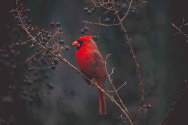 A bright red cardinal sitting on a tree branch among small dark blue fruit. It's a probably evening as it's quite dark.