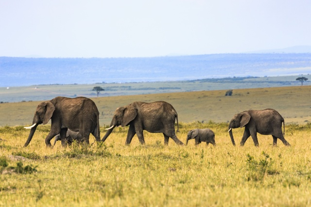 A group of elephants in the wild trotting behind each other. Two large elepants, two kids and one smaller elephant at the end.
