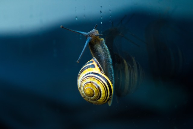 As snail is crawling upwards on a window on a rainy evening.
