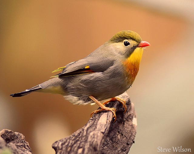 red-billed-leiothrix