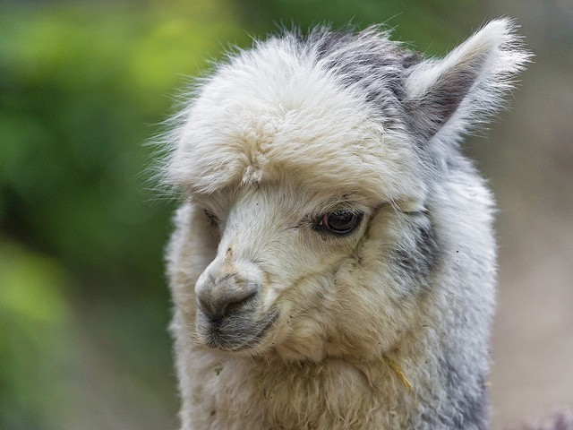 The head of a white lama is dirty. It looks funny in an awkward way