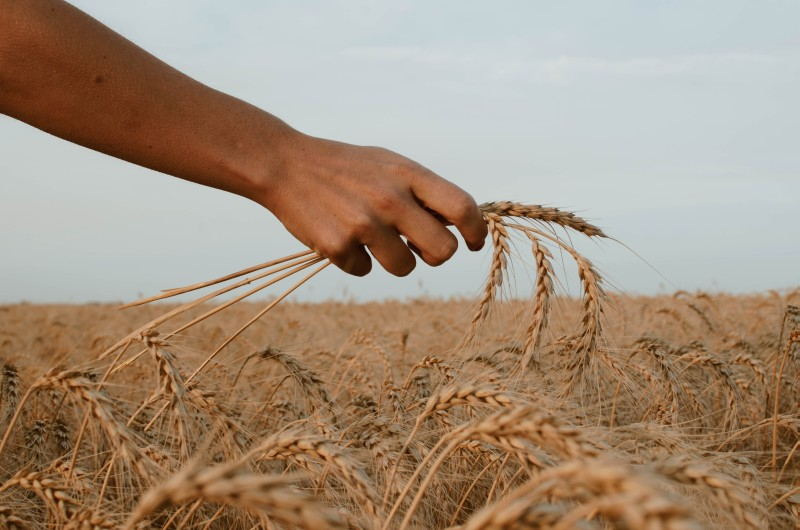 Peasant in the field holding some grain