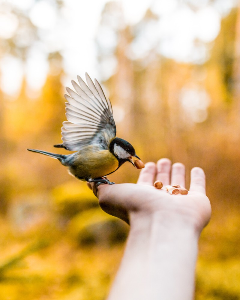 Outreach: Someone is feeding a bird. The bird sits on the actual hand that is reaching out with the treats. In the background we see an autumn colored wood.