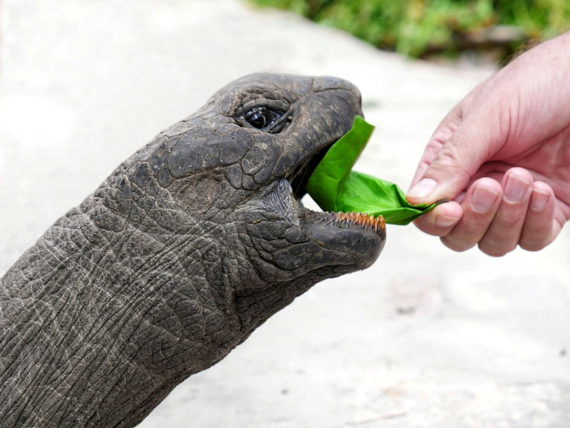 Someone is reaching out to a turtle with a green leaf in his hand. The turtle is happy to eat it. It extends the head pretty far.