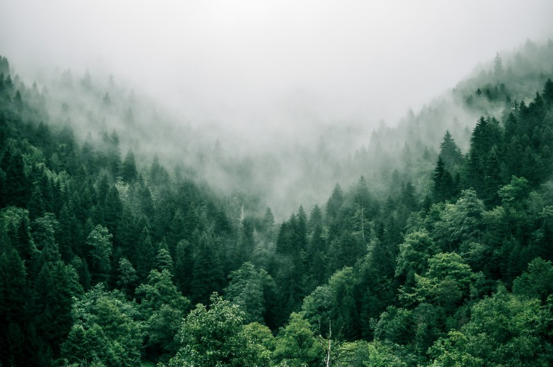 A misty forest full of very green trees symbolizing what happens when you use Ecosia.