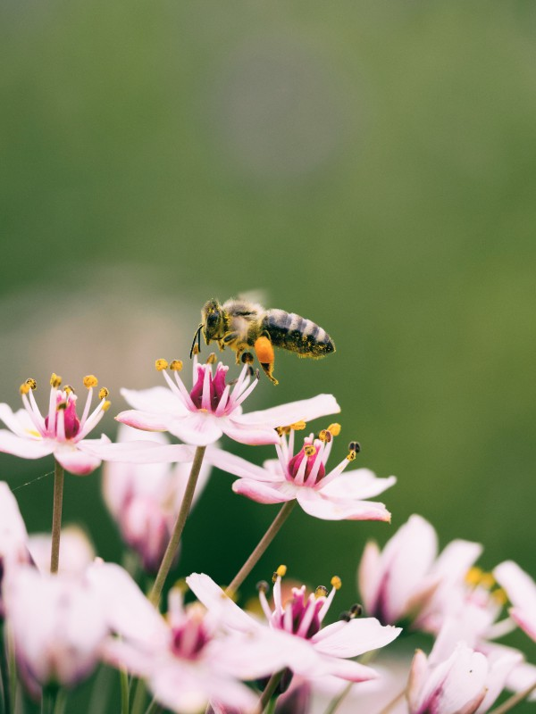 Worker bee checking out some pink flowers on a meadow. Image by Aaron Burden.
